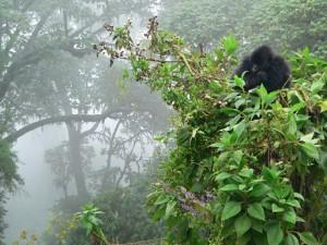 gorila1p1