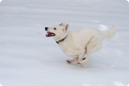 Perro corriendo por la nieve